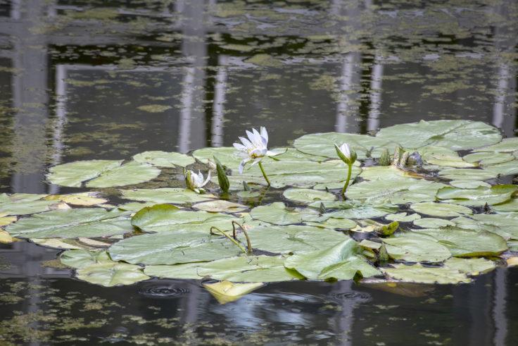 京都府立植物園のスイレン4