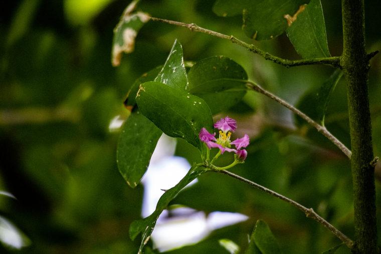 京都府立植物園のアセロラの花