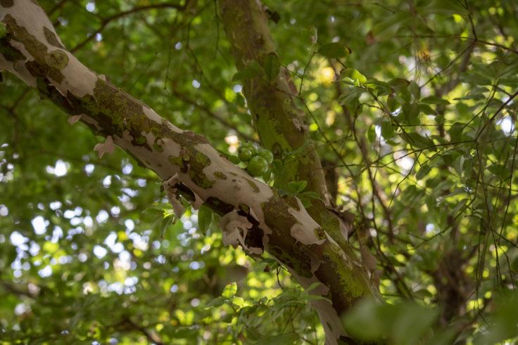 京都府立植物園のジャボチカバ