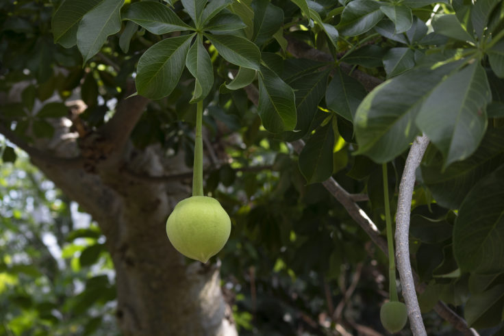京都府立植物園のバオバブのツボミ