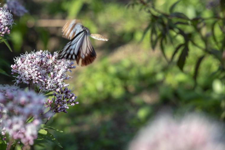 ウチノ海総合公園のフジバカマにとまるアサギマダラ