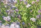 ウチノ海総合公園のフジバカマにとまるアサギマダラ3
