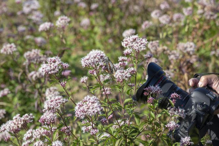 ウチノ海総合公園のフジバカマにとまるアサギマダラ4