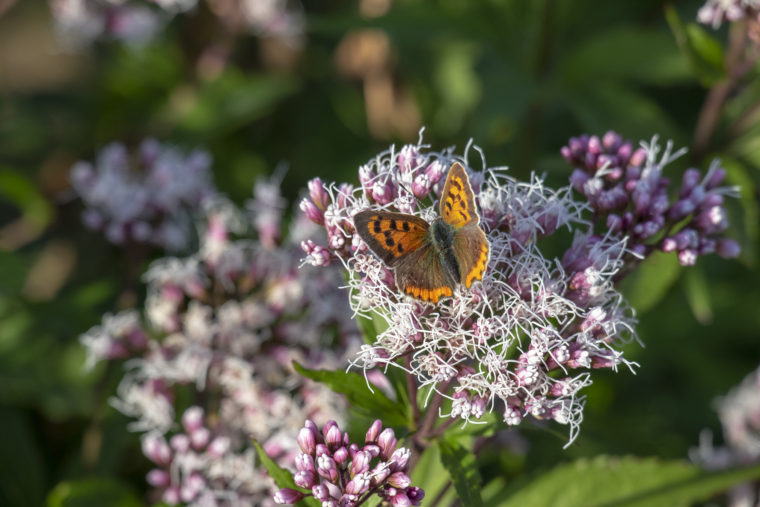 コスモス祭りの蝶