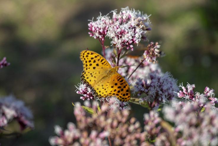ウチノ海総合公園のフジバカマにとまる蝶