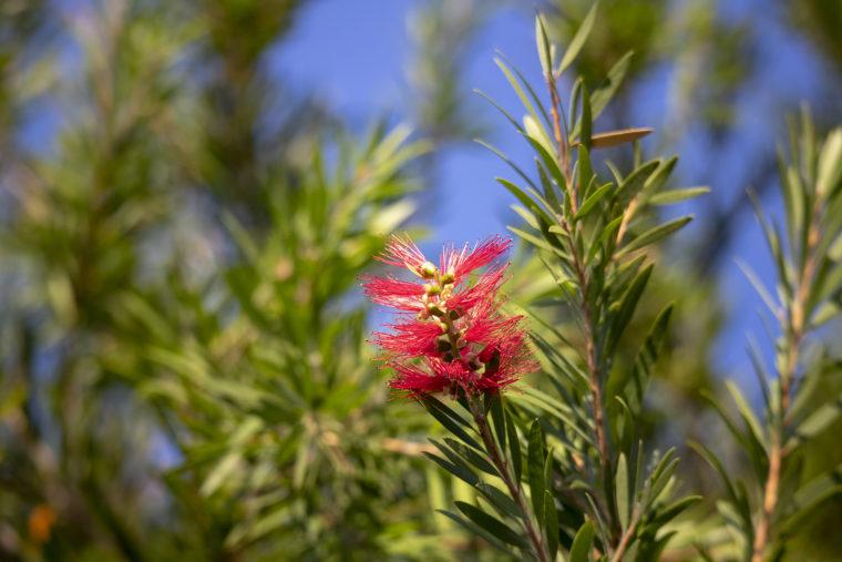 ウチノ海総合公園のブラシの木