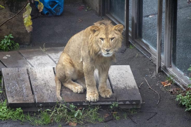 旭山動物園のライオン