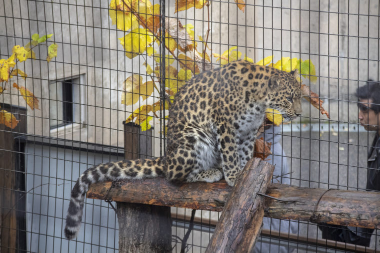 旭山動物園のアムールヒョウ3