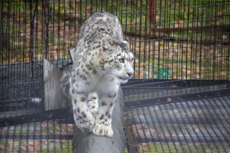 旭山動物園のユキヒョウ2