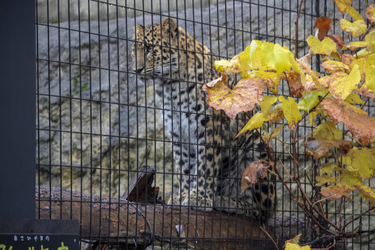 旭山動物園のアムールヒョウ2