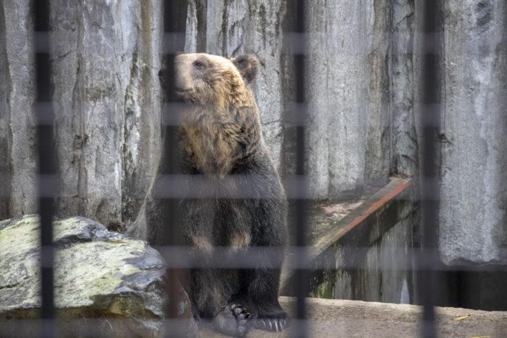 旭山動物園のエゾヒグマ