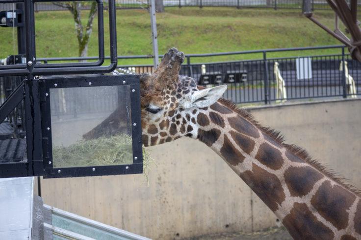 旭山動物園のアミメキリン