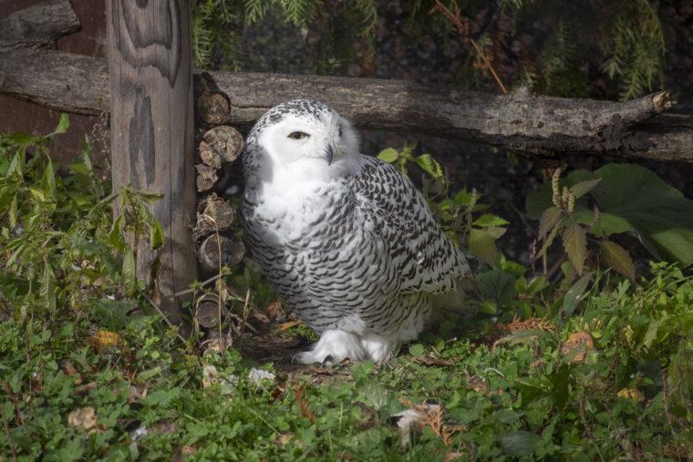 旭山動物園のシロフクロウ