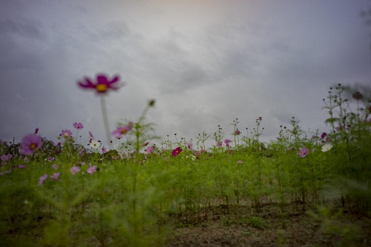 鳴門ウチノ海総合公園のコスモス2