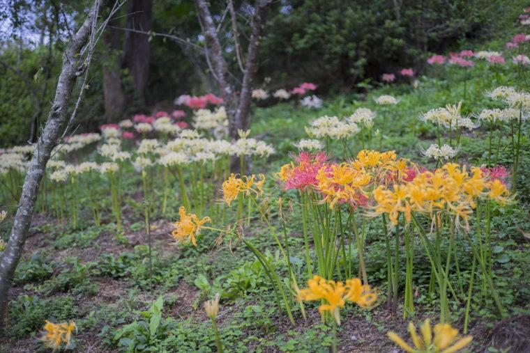 みろく自然公園の黄・白・ピンクの彼岸花