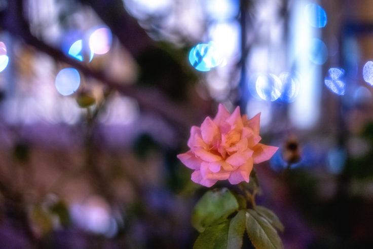 夜のバラ2