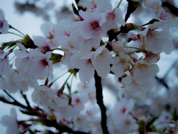雨に濡れた桜