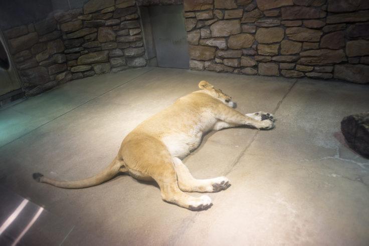 いしかわ動物園のメスライオン