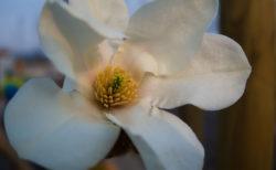 コブシの花~花言葉