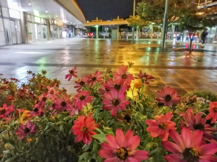 雨の夜ジニア