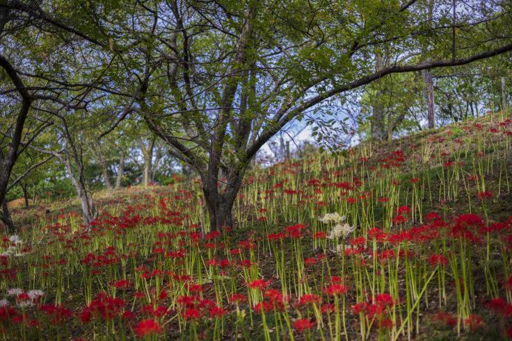 みろく自然公園の赤と白の彼岸花群生
