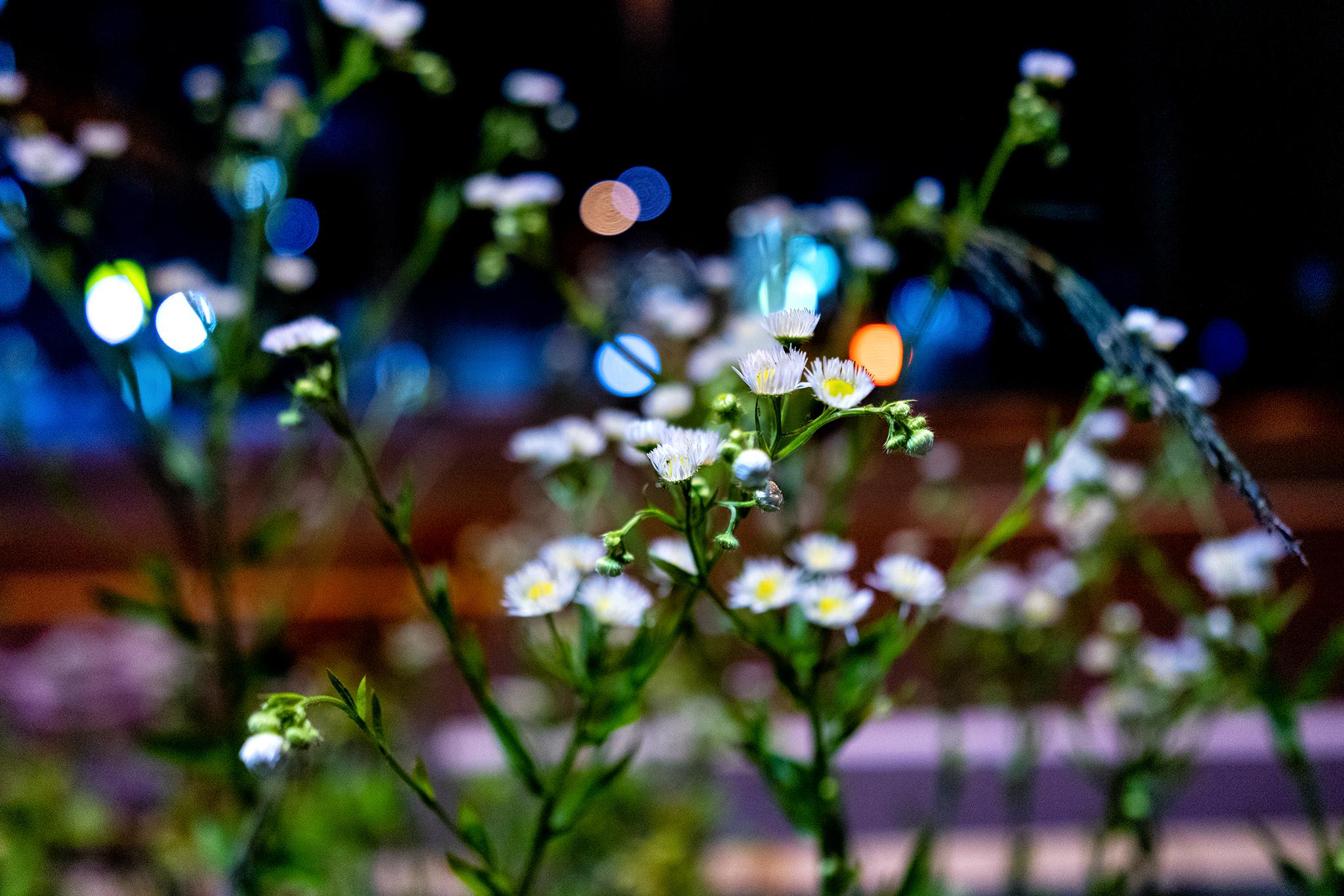 高松市の夜に咲く花【ZEISS Batis 2/25】