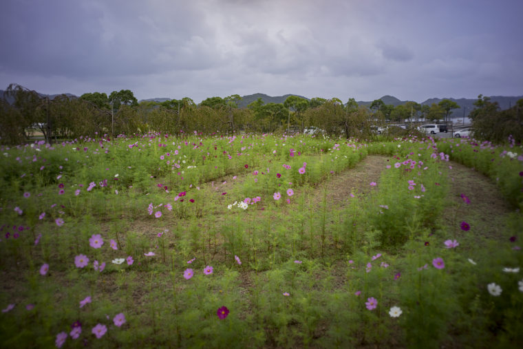 鳴門ウチノ海総合公園のコスモス4