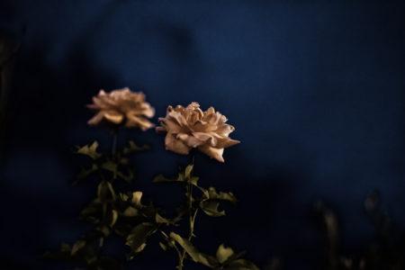 暗闇に咲くバラ