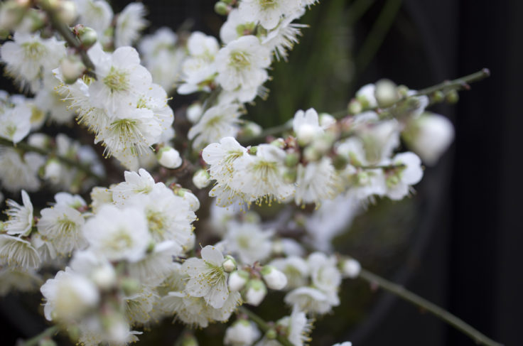 軌跡の星の植物館の梅
