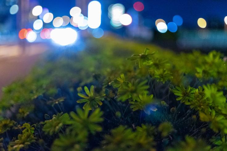 夜のユリオプスデージー