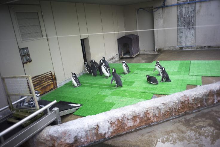 いしかわ動物園のペンギンエサ待ち