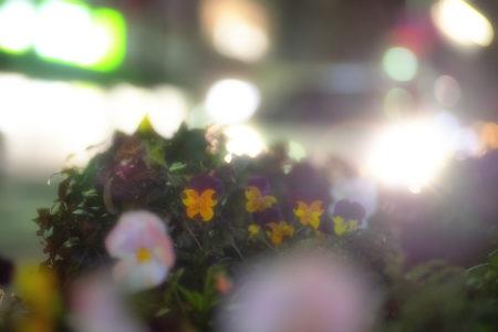 夜のビオラ