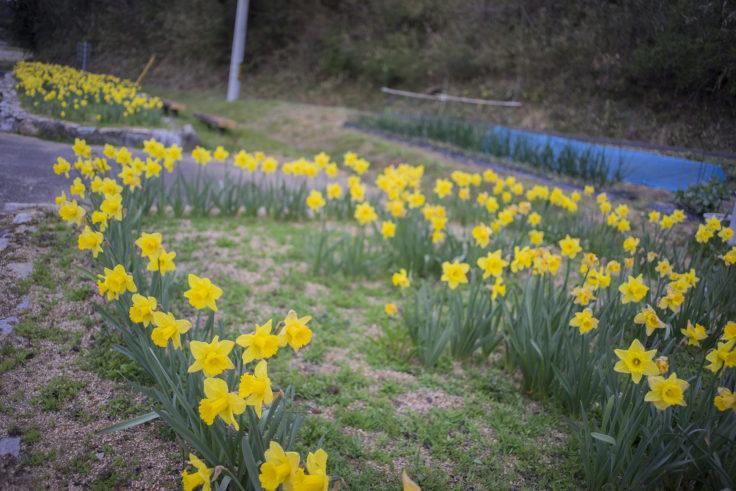綾川町の黄色い水仙2