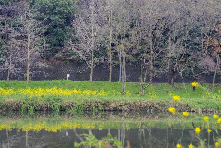 川に映る菜の花