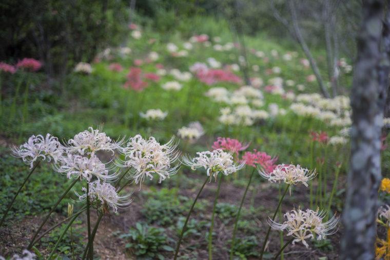 みろく自然公園の白とピンクの彼岸花