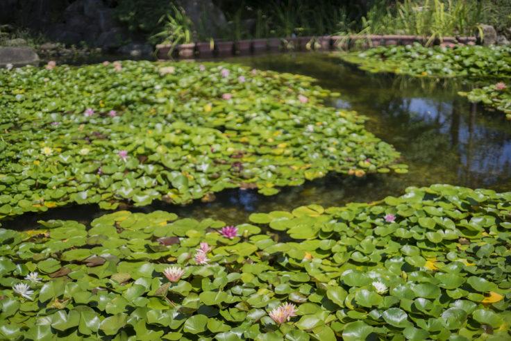 みずの森スイレン池