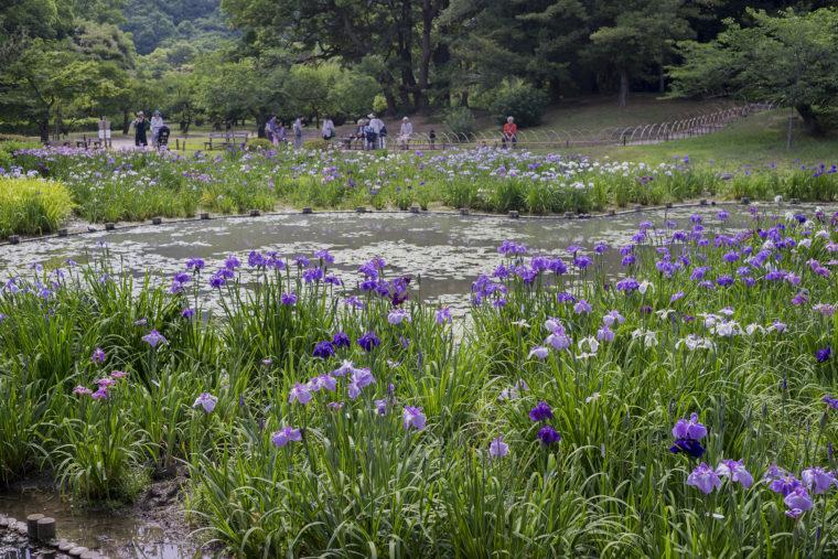栗林公園の花しょうぶ