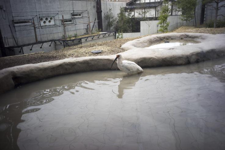 いしかわ動物園のトキ