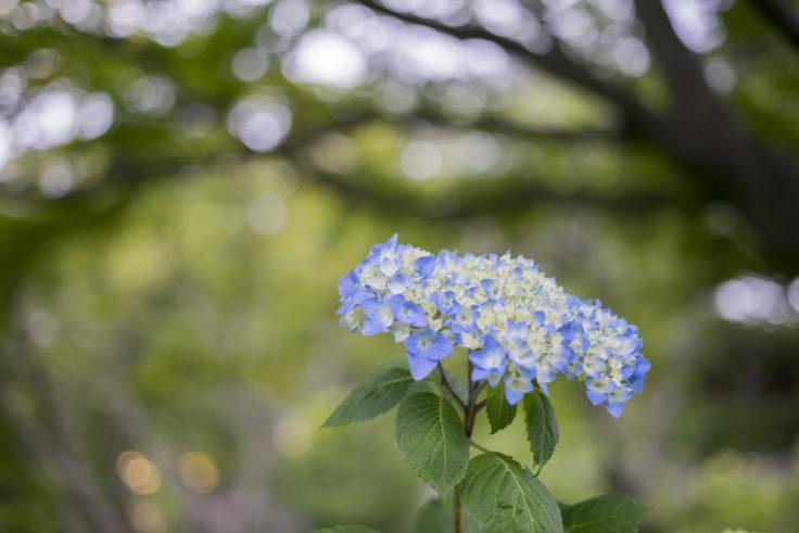 摩耶の紫陽花2