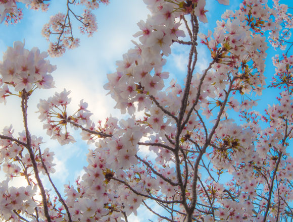 徳島文理大学の桜