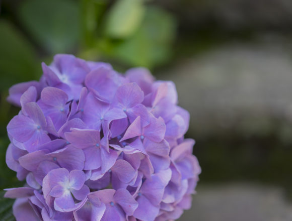 根香寺の紫陽花2