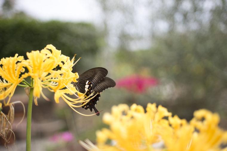 みろく自然公園の黄色の彼岸花とアゲハ蝶