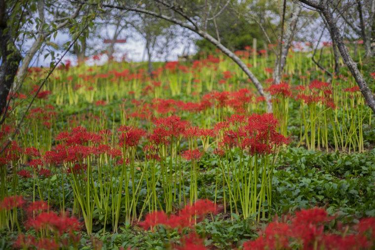 みろく自然公園の赤い彼岸花群生