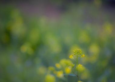 雨中の菜の花