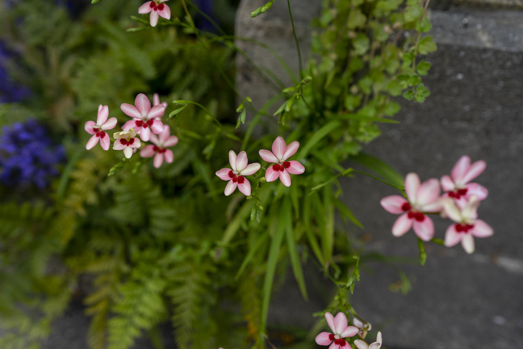 ヒメヒオウギの花言葉と誕生花