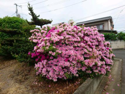 ツツジという花