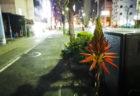 夜のアロエの花
